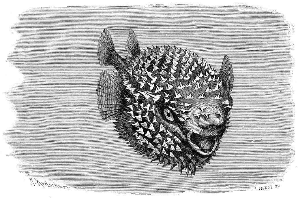 Обыкновенная рыба-ёж (Diodon hystrix)