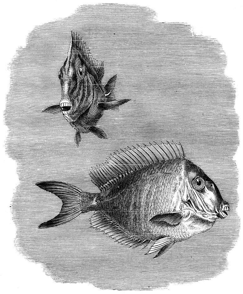Обыкновенная рыба-хирург (Acanthurus chirurgus)