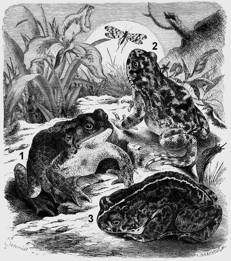 1 - Обыкновенная серая жаба (Bitfo bitfo) 2 - Зеленая жаба (Bitfo viridis) 3 - Камышовая жаба (Bitfo calamifa)
