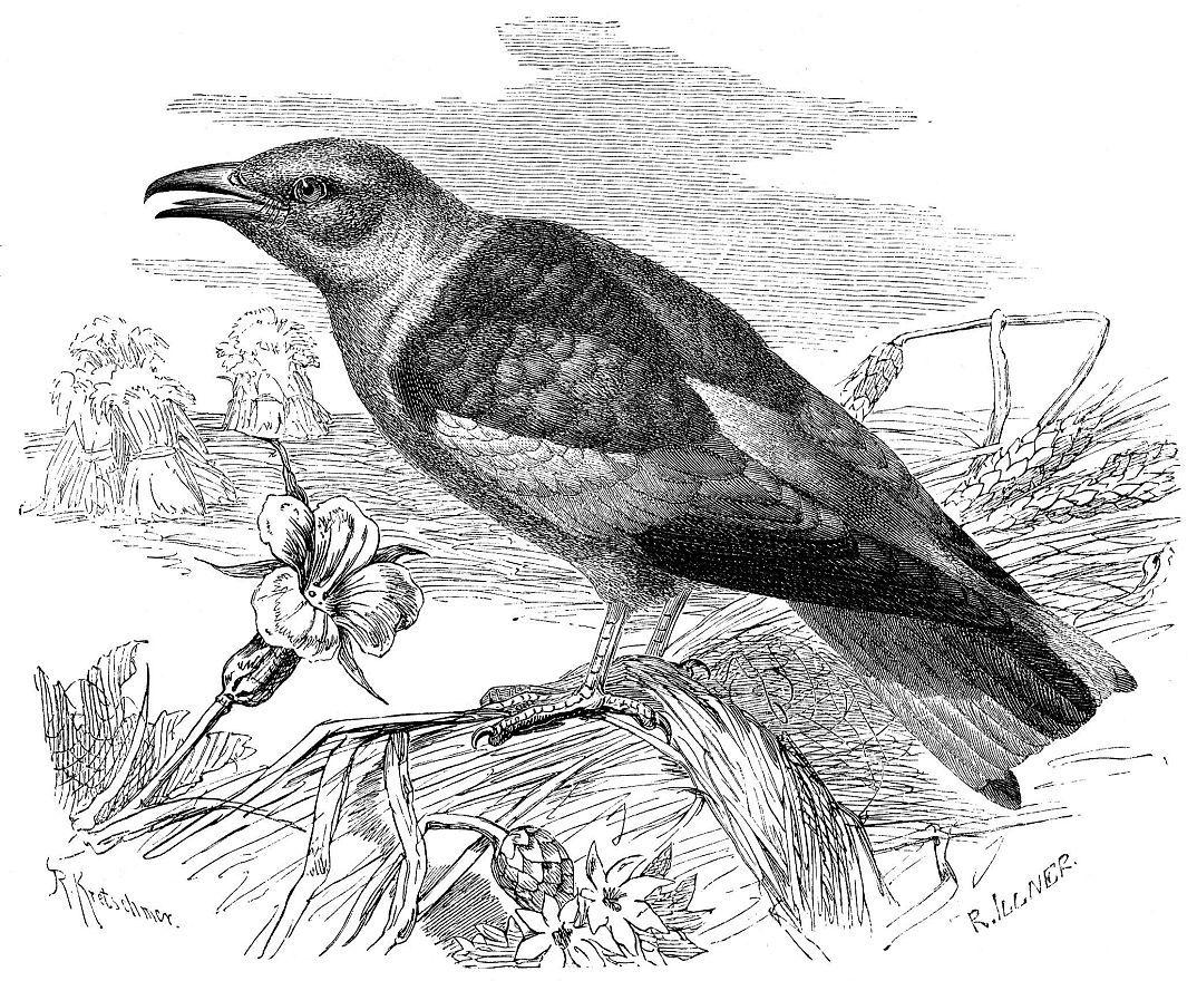 Обыкновенная сизоворонка (Coracias garnilus)