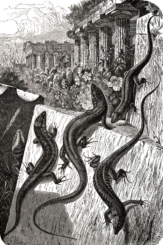 Обыкновенная стенная ящерица (Podaris muralis)