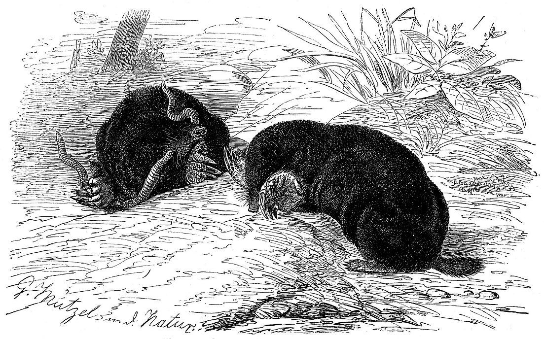 Обыкновенный (европейский) крот (Talpa europaea)