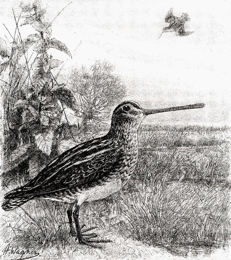Обыкновенный бекас (Gallinago gallinago)