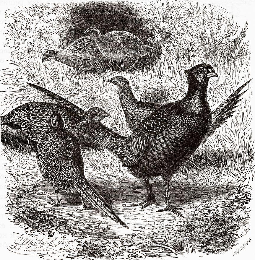 Обыкновенный фазан (Phasianus colchicus)