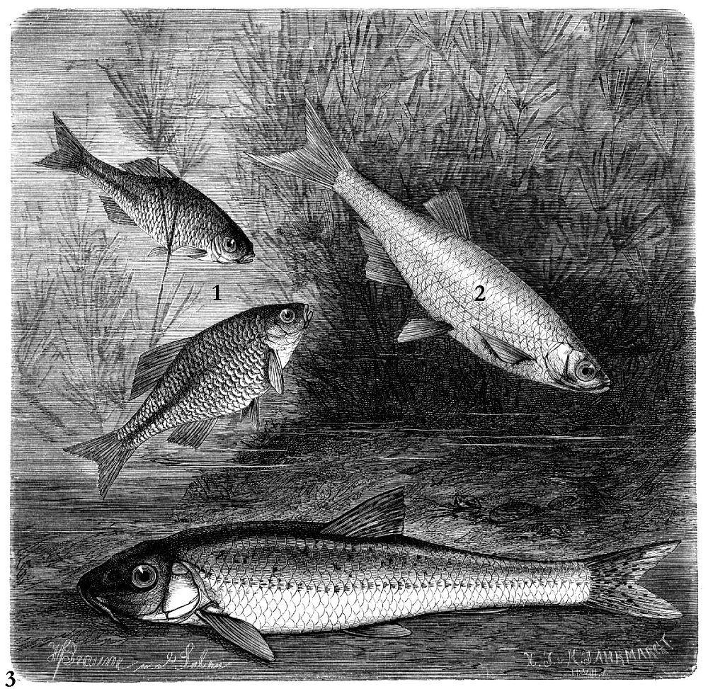 1 - Обыкновенный горчак (Rhodeus sericeus)2 - Уклейка (Albumus alburnus) 3 - Обыкновенный пескарь (Gobi о gobio)