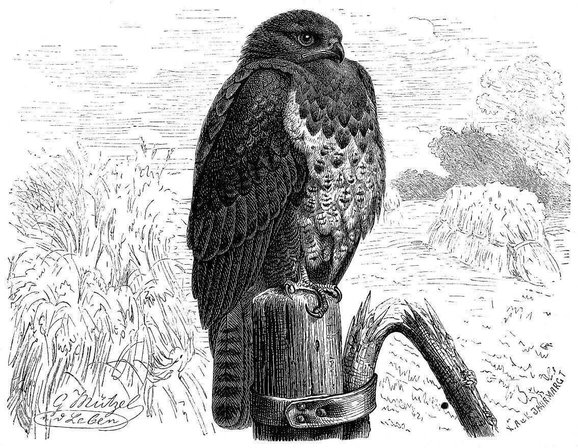 Обыкновенный канюк (Buteо buteo)