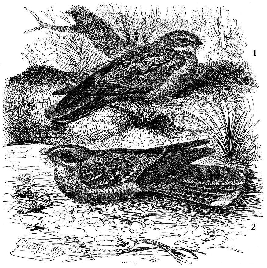 1 - Обыкновенный козодой (Caprimulgus europaeus); 2 — Красношейный козодой (Caprimulgus ruficollis)