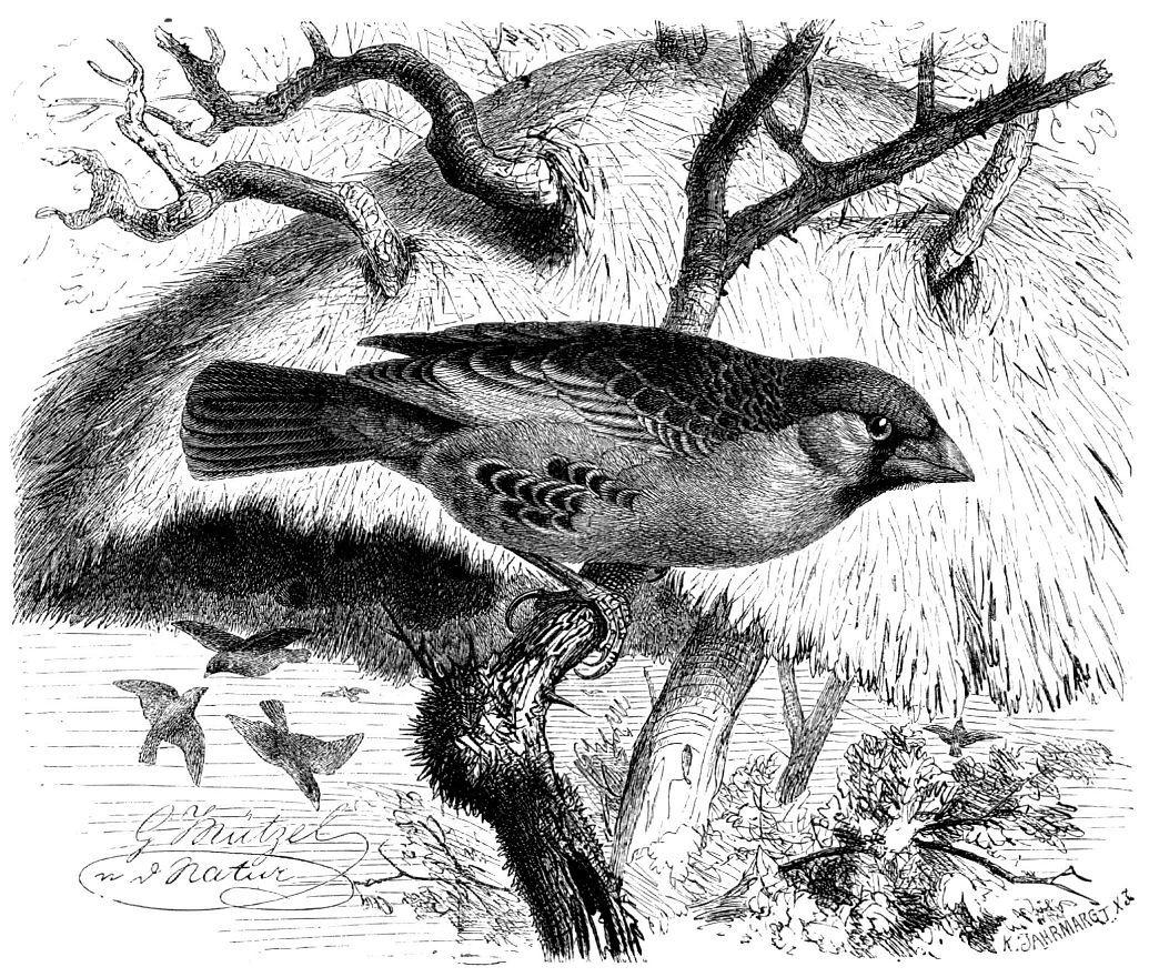 Обыкновенный общественный ткач (Philetairus socius)