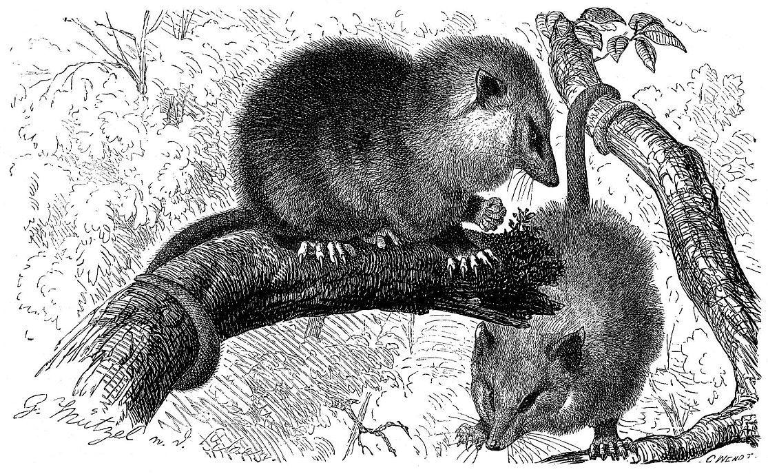 Обыкновенный опоссум (Didelphis marsupialis)