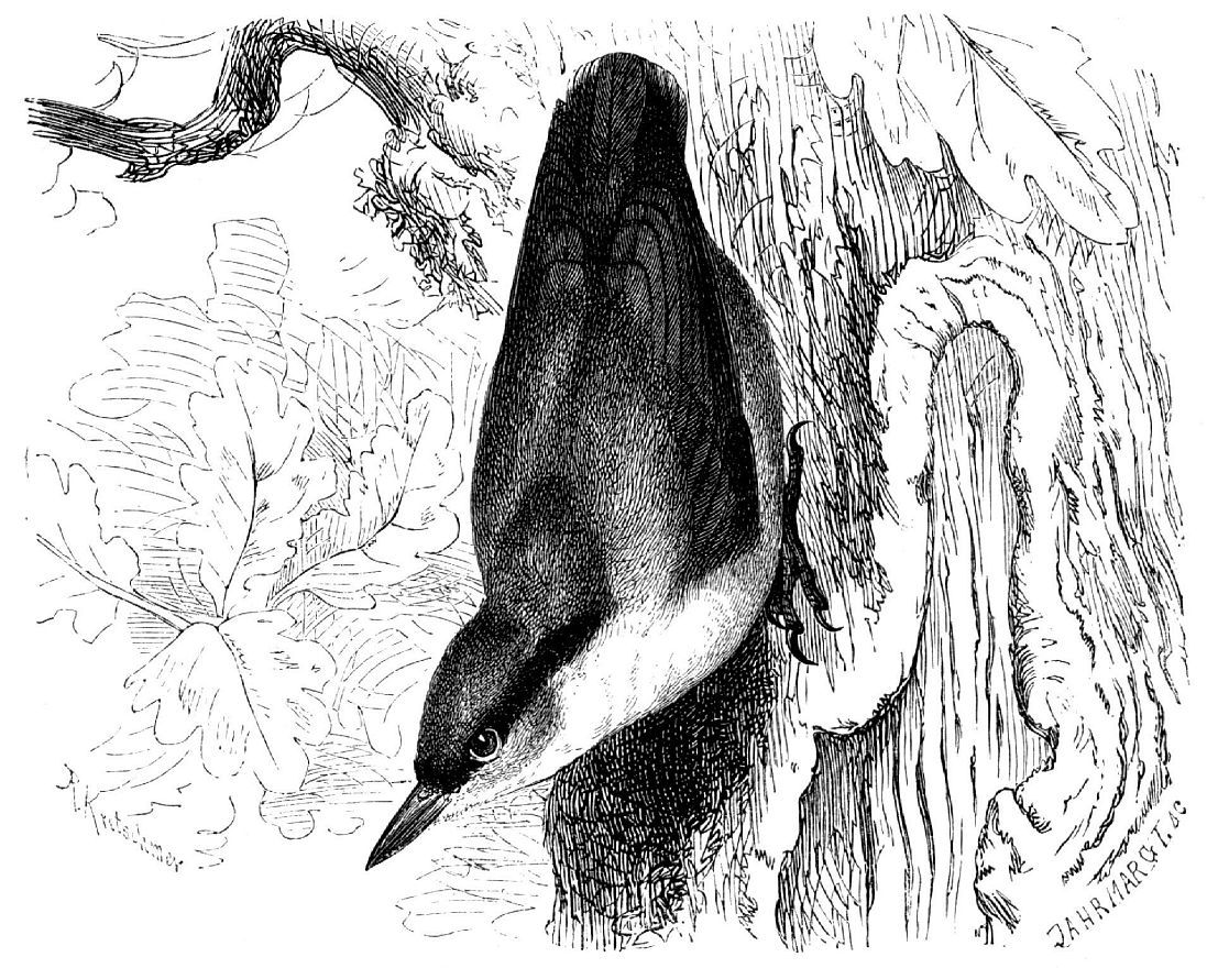Обыкновенный поползень (Sitta europea)