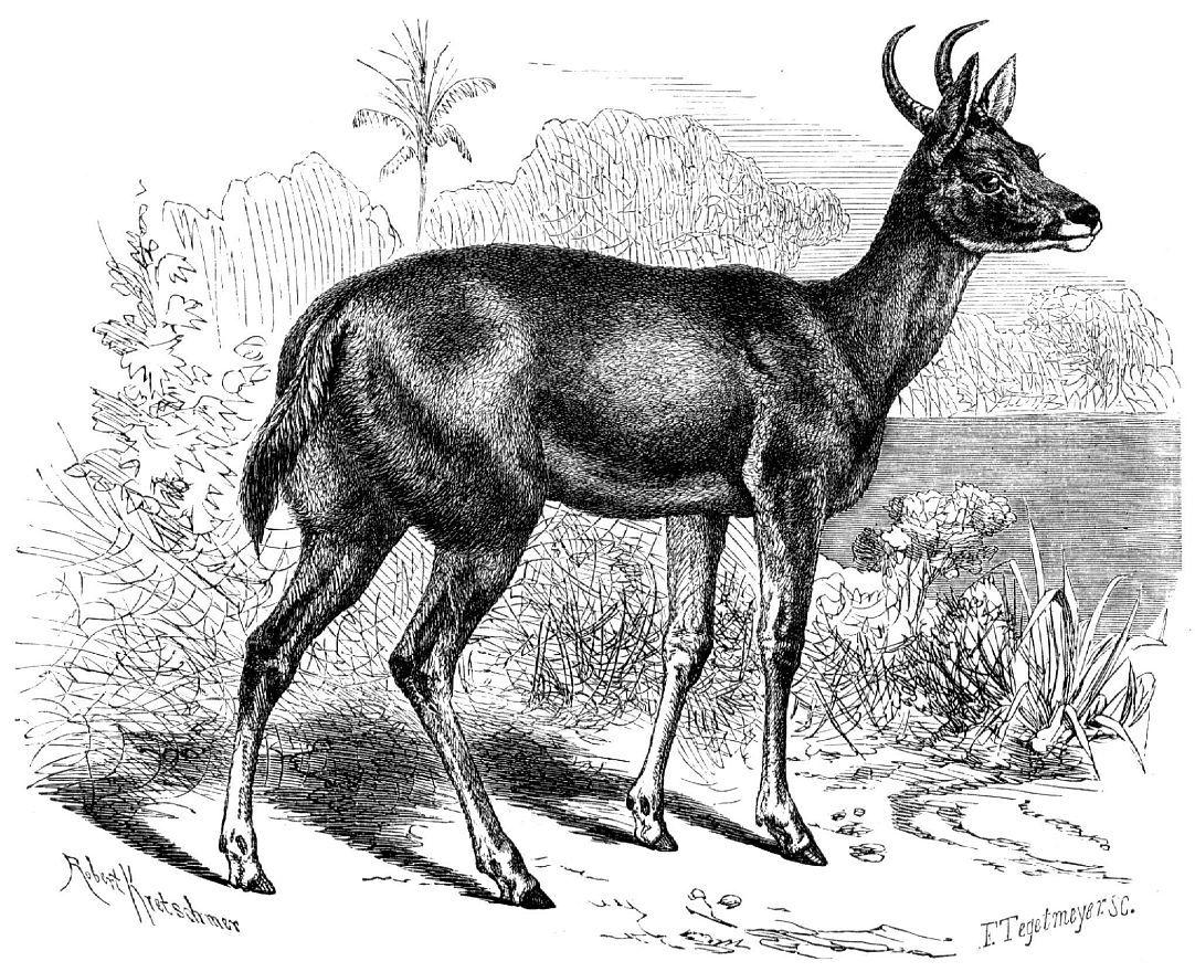 Обыкновенный редунка, или болотный козел (Redimca arundinum)