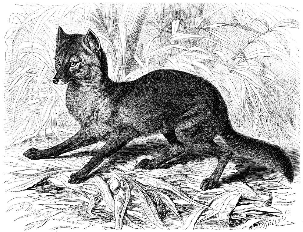 Обыкновенный шакал (Canis aureus)