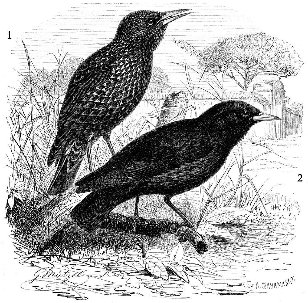 1 - Обыкновенный скворец (Sturnus vulgaris) 2 - Черный скворец (Sturnus unicolor)