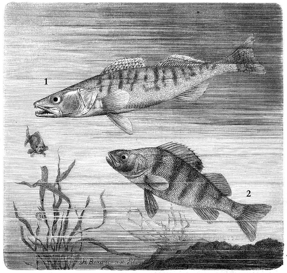 1 - Обыкновенный судак (Stizostedion lucioperca) 2 - Речной окунь (Perca fluviatilis)
