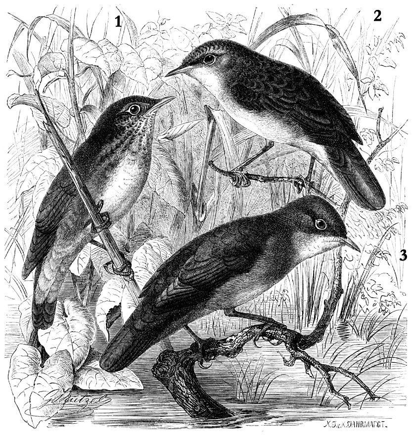 1 - Обыкновенный сверчок (Locustella naevia) 2 -Речной сверчок (Locustella fluviatilis) 3 - Сверчок соловьиный (Locustella luscinioides)