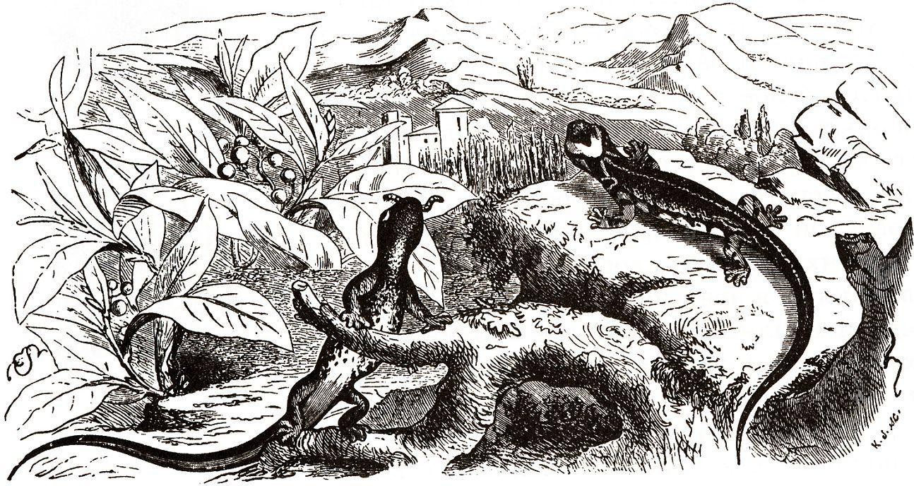Очковая саламандра или таранталина (Salamandrina terdigitata)