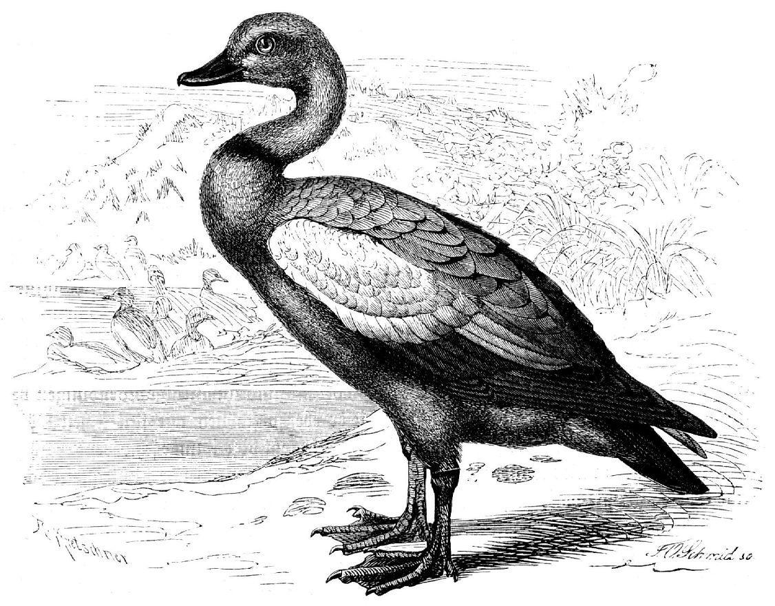 Огарь. или красная утка (Tadorna ferruginea)