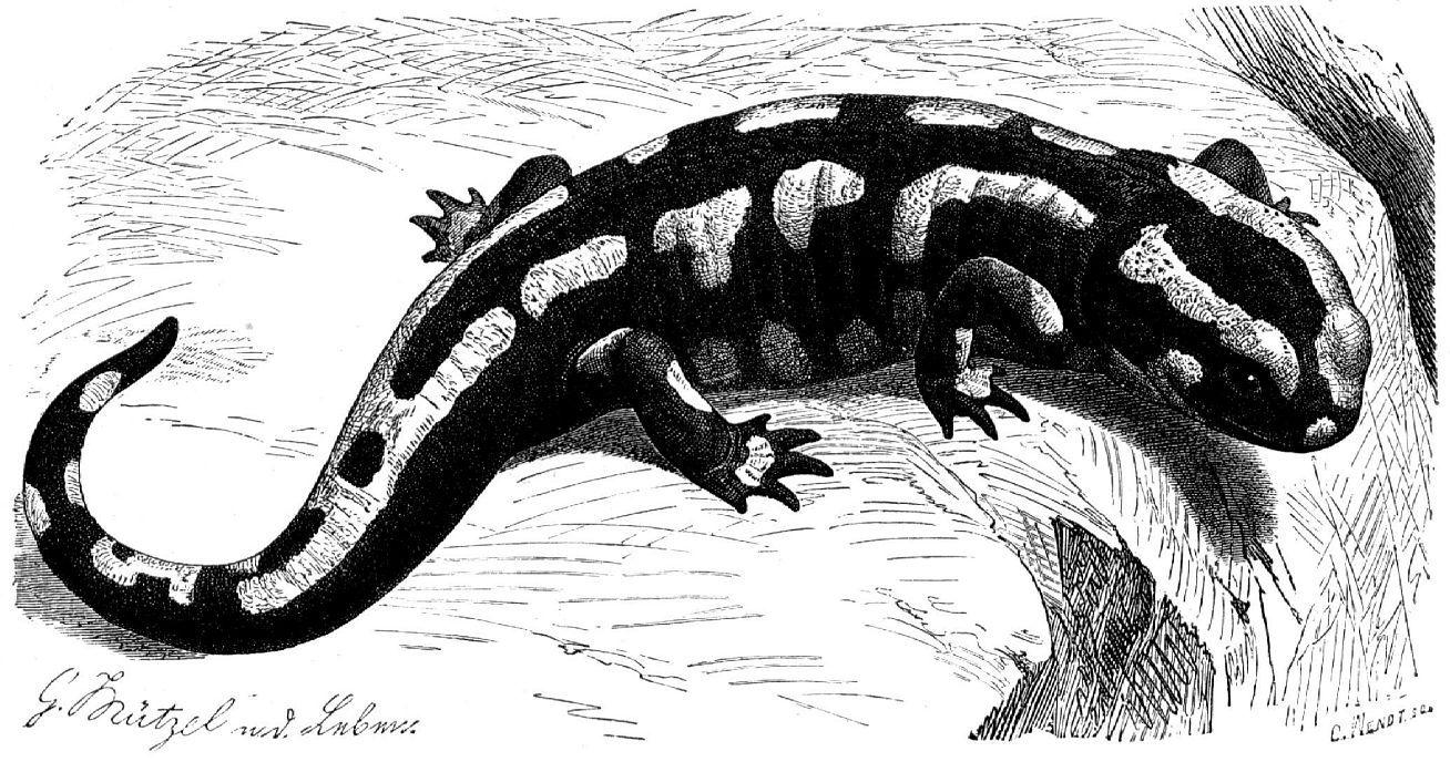 Огненная, или пятнистая саламандра (Salamandra salamandra)