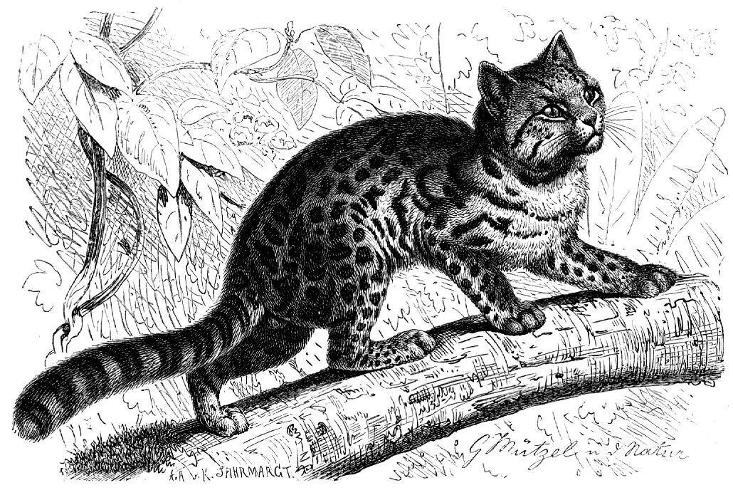Онцилла, тигровая кошка (Leopardus pardinoides)
