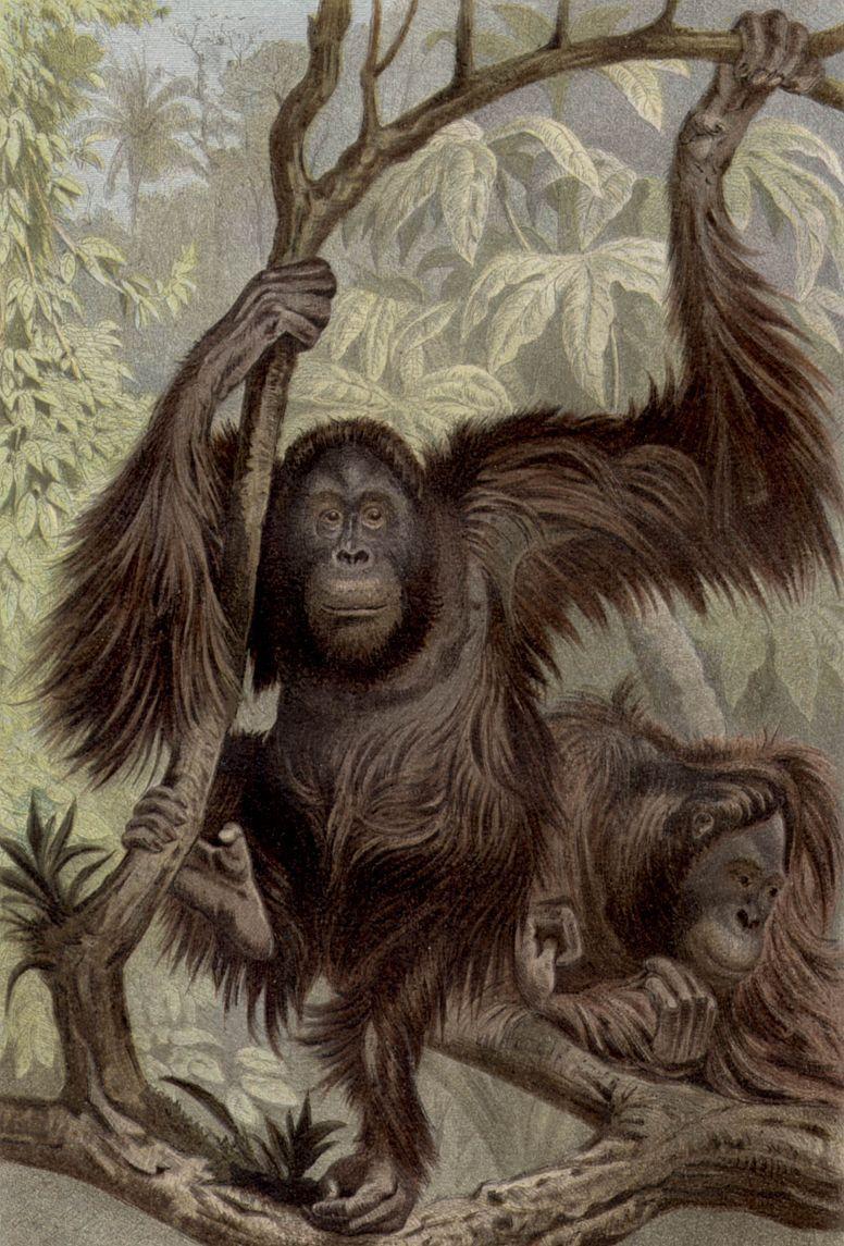 Орангутанг (Pongo pygmaeus)