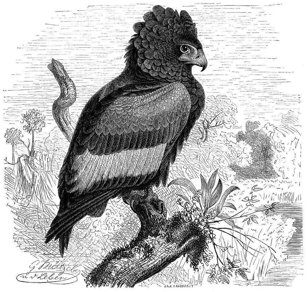Орел-скоморох