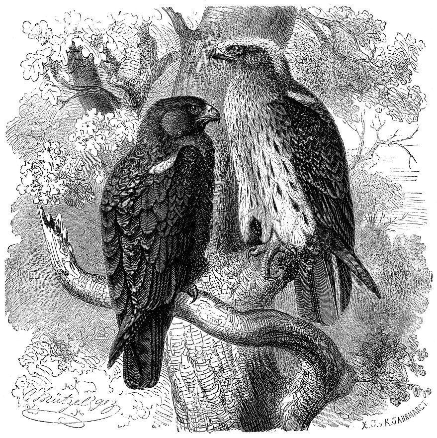 Орел карлик (Hieraatus pennatus)