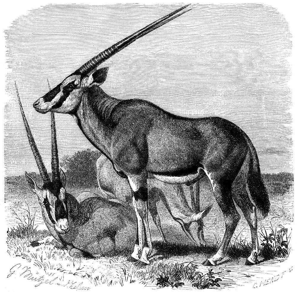 Орикс, или сернобык (Oryx gazellа)