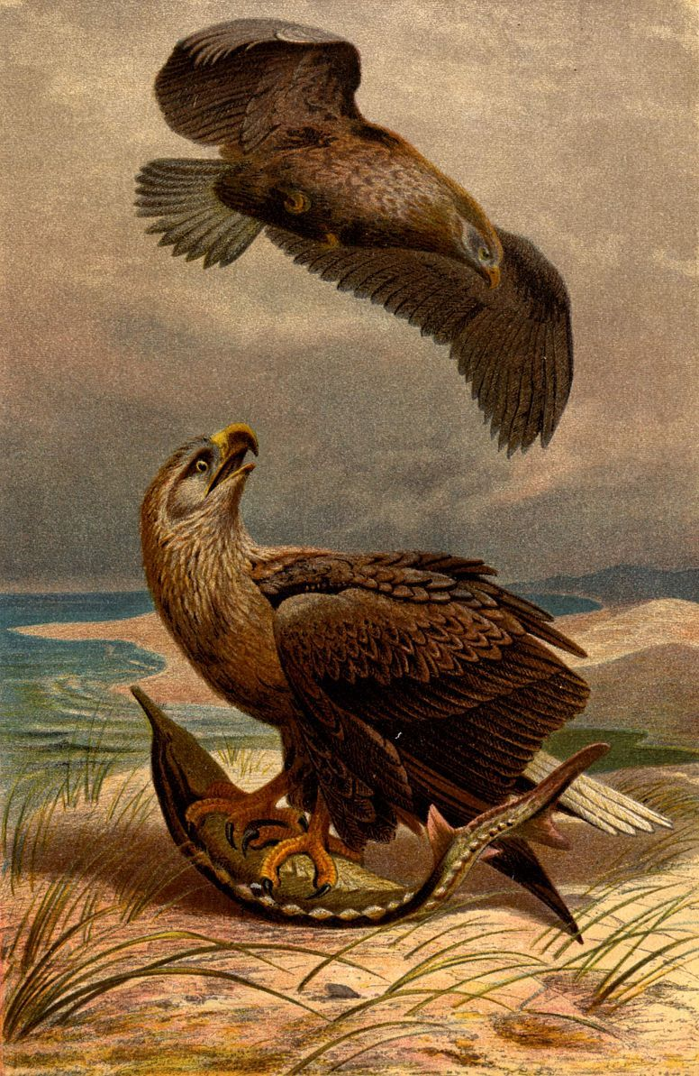 Орлан-белохвост (Haliaeetus albicilla)
