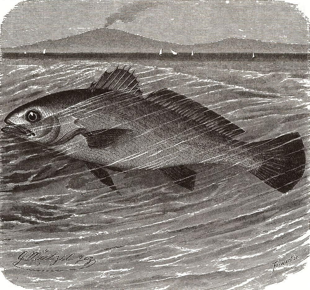 Орлиный горбыль, или сциена-орел (Sclaena aquila)