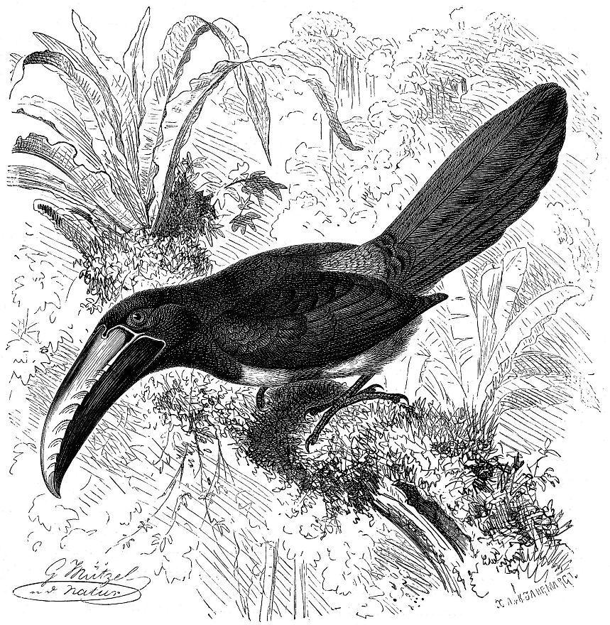 Ошейниковые арасари (Pteroglossits torquatus)