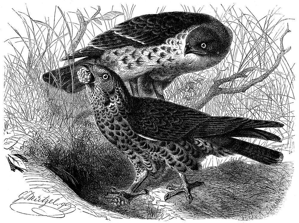 Осоед (Perm's apivorus)