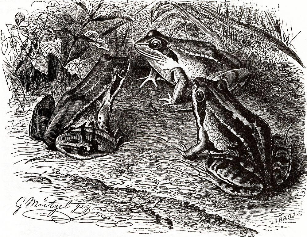 Остромордая лягушка (Rana arvalis)