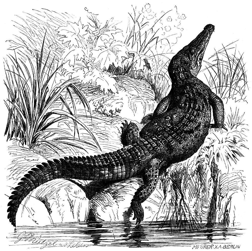 Острорылый крокодил (Crocodylus acutus)