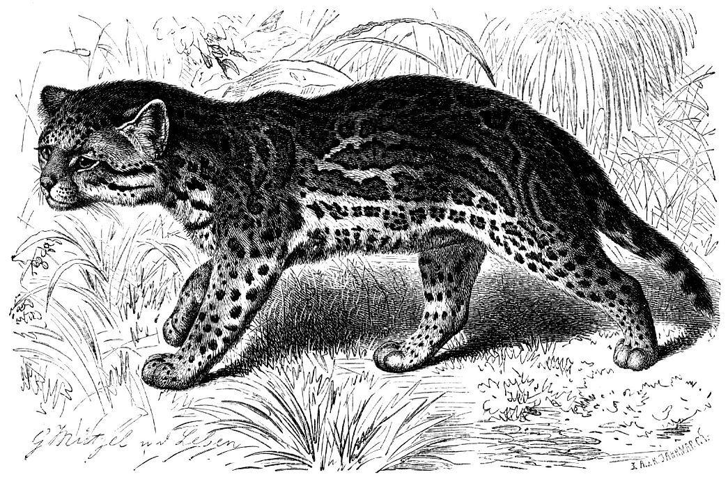 Оцелот (Leopardus pardalis)