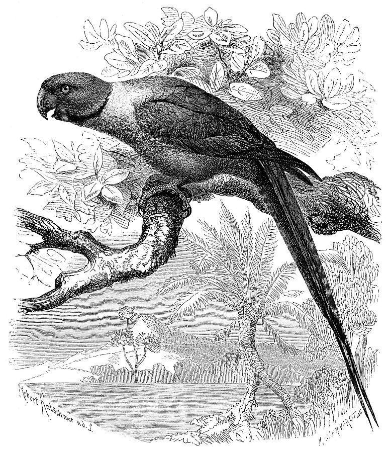 Ожереловый попугай Крамера (Psittacula kvameri)