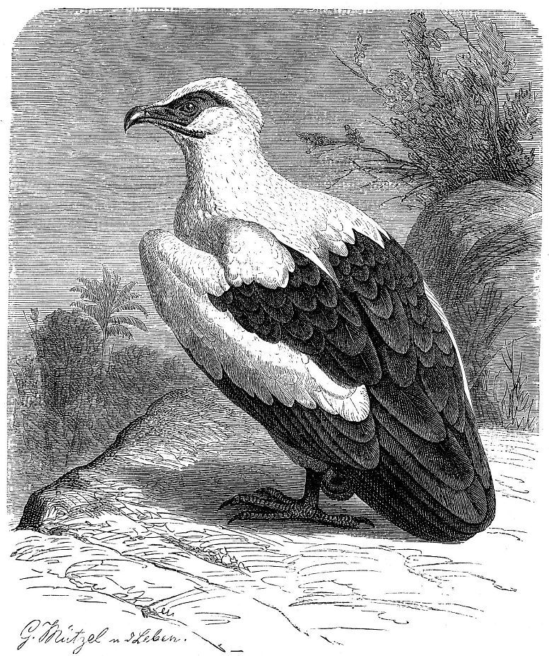 Пальмовый гриф, или грифовый орлан (Gypphierax angqlensis)