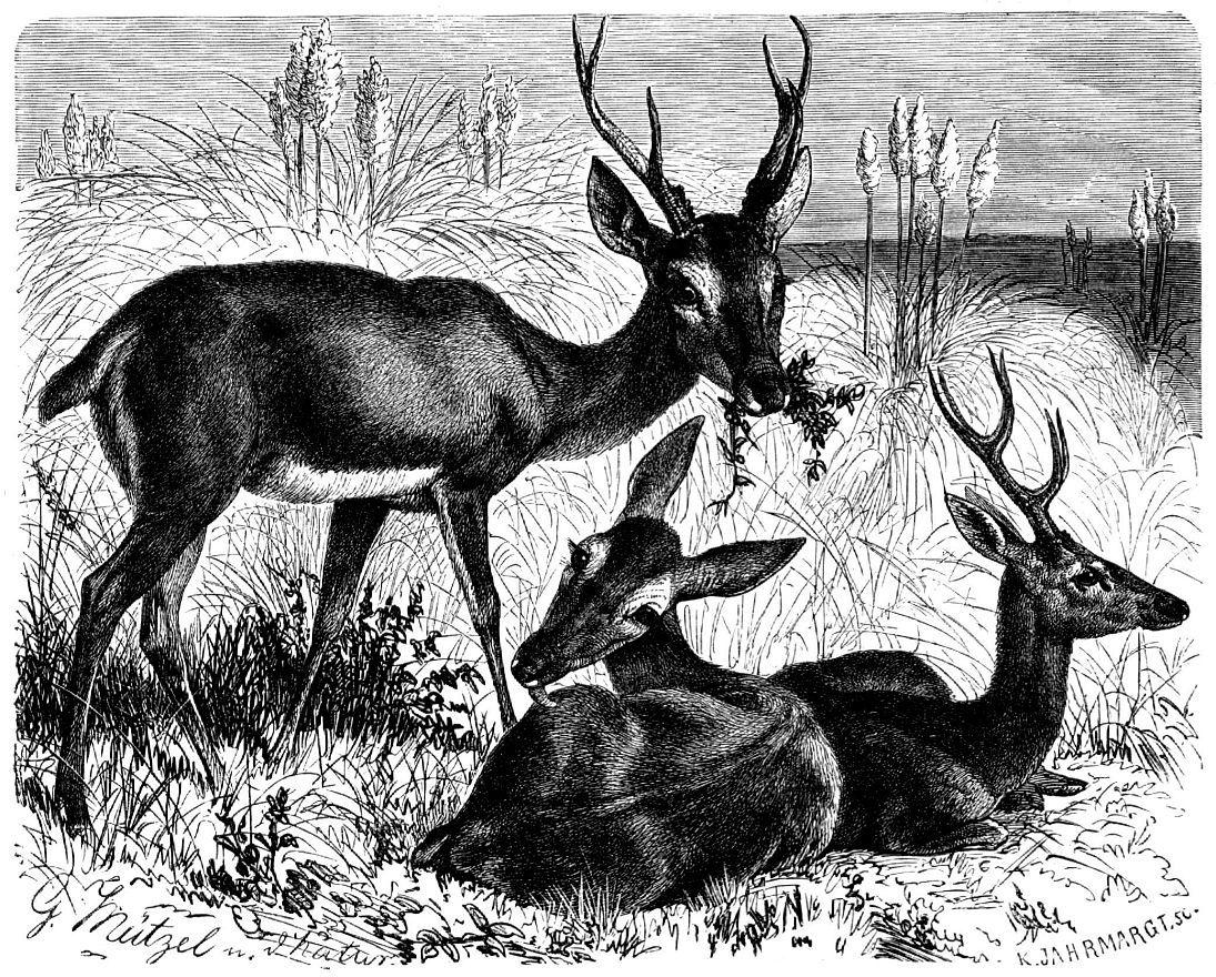 Пампасный олень (Ozotoceros hezoarcticus)