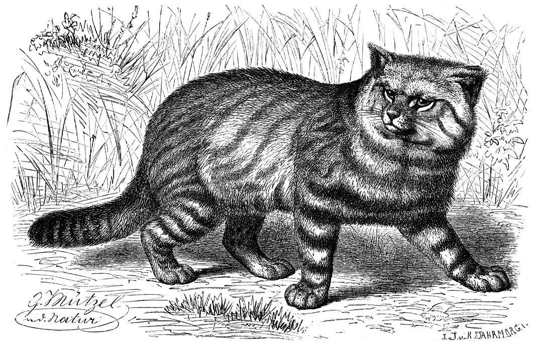 Пампасская кошка (Oncifelis colocolo)
