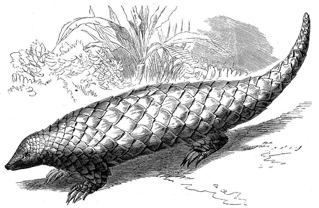 Панголин, китайский ящер (Man is pentadactyla)