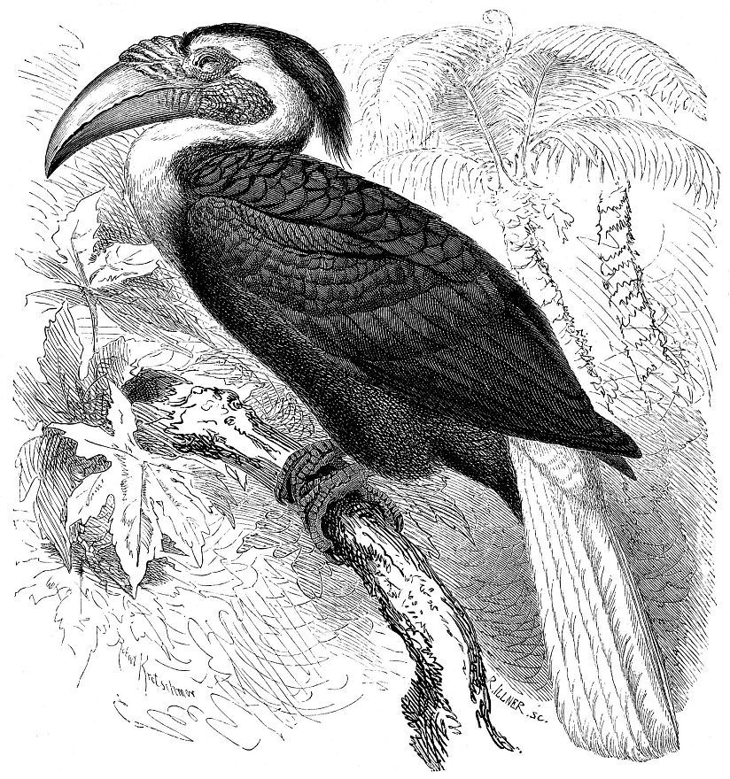 Папуасский калао (Aceros piicatus)