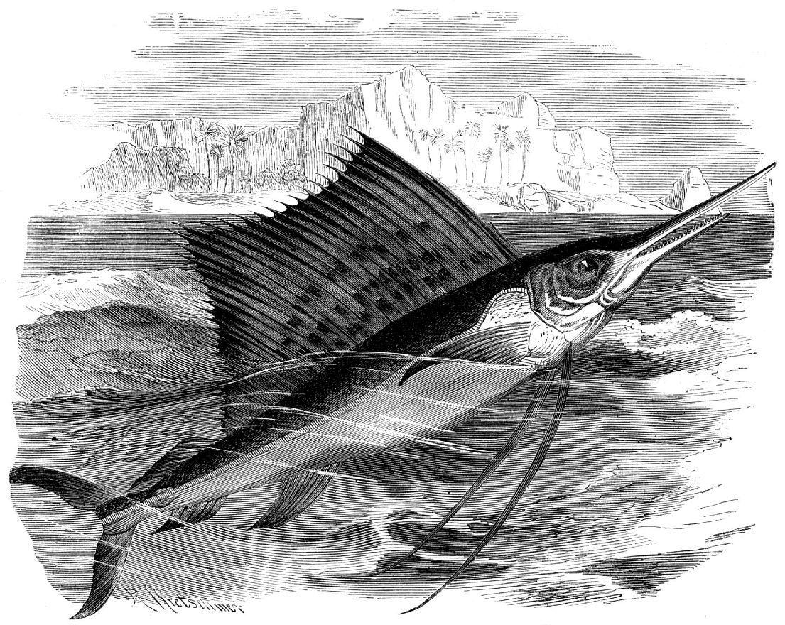 Парусник (Istiophorus platypterus)