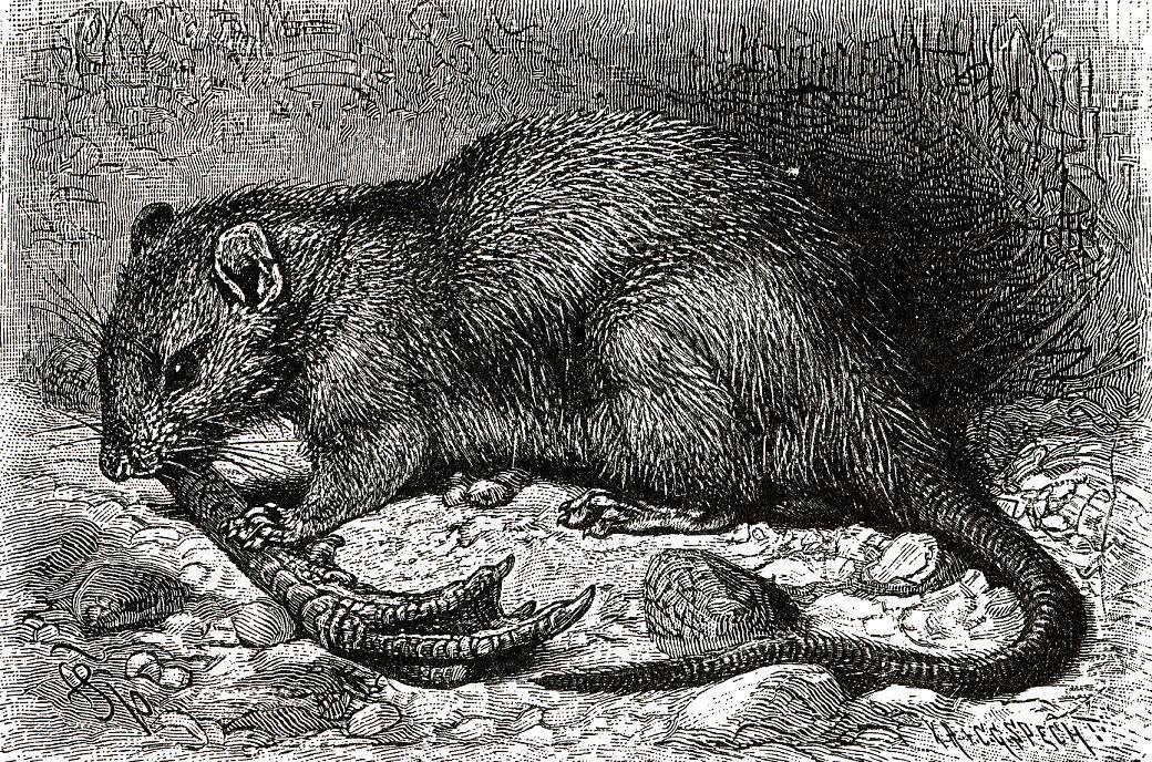 Пасюк (Rattits twrvegicits)