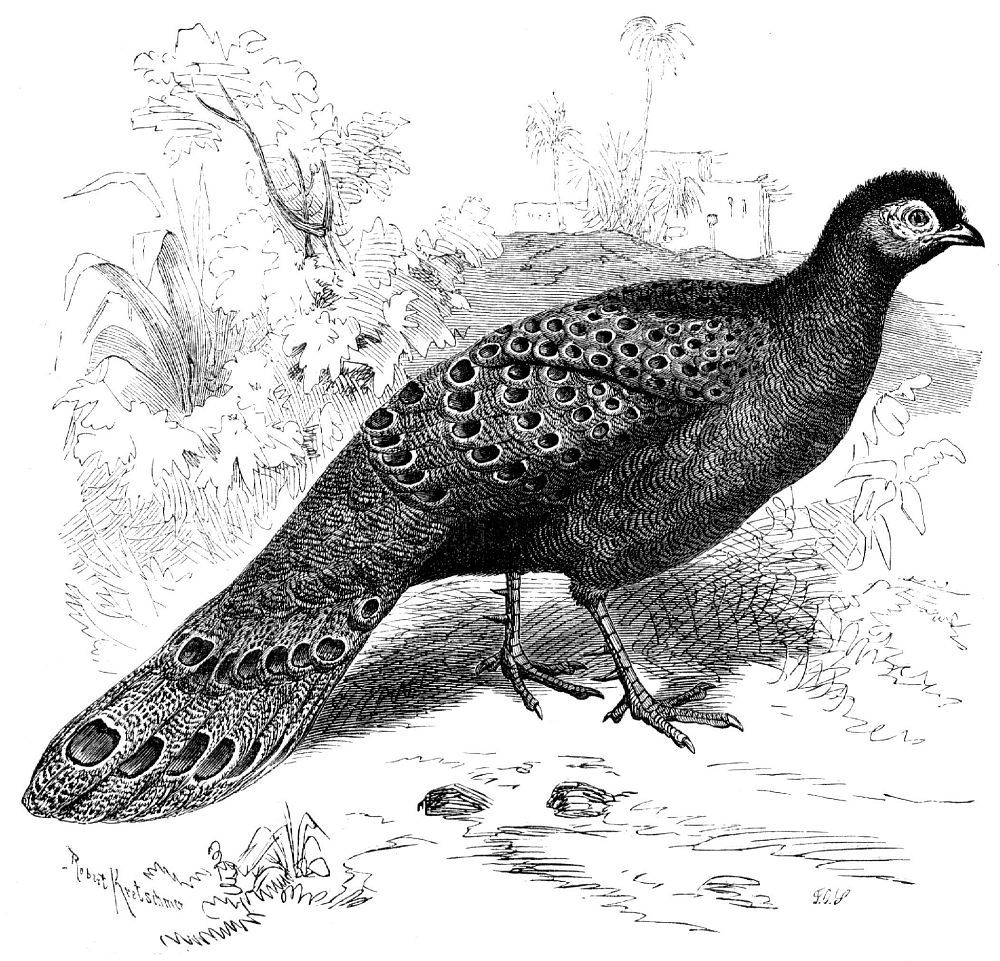 Павлиний фазан (Poiyplectron bicalcaratus)