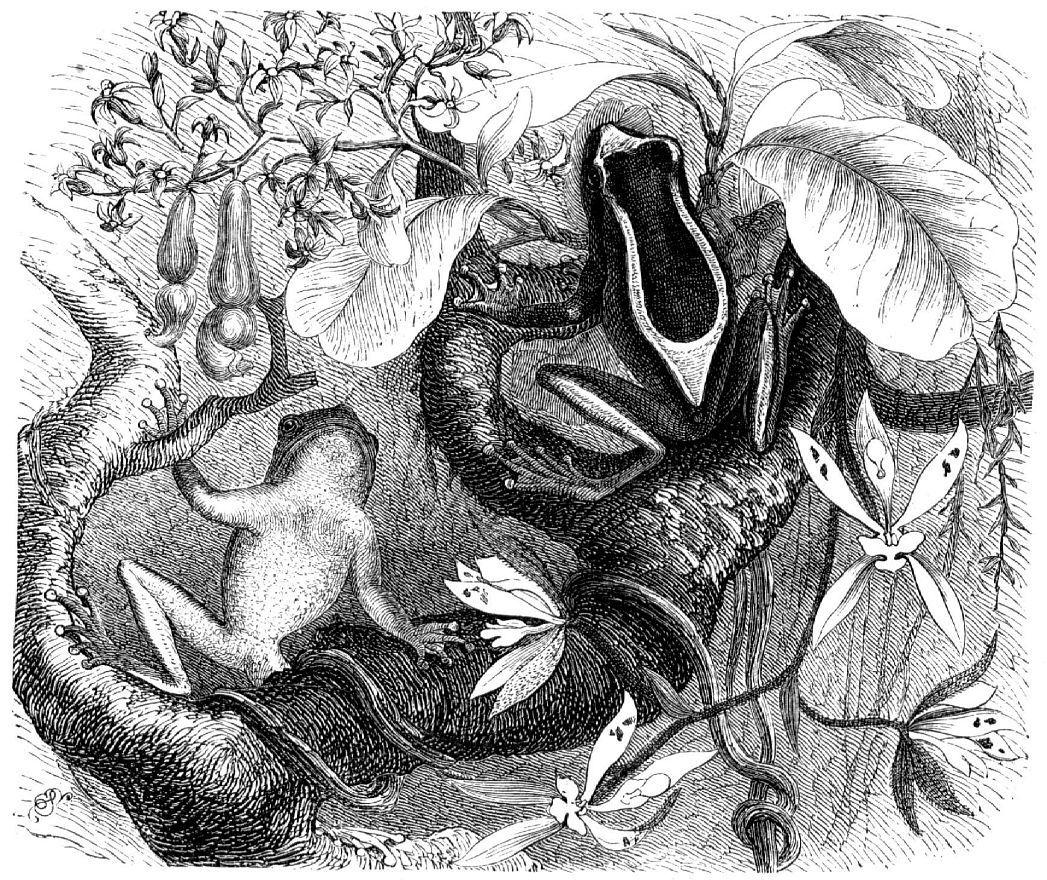 Пегая квакша (Hyla leucophyllata)