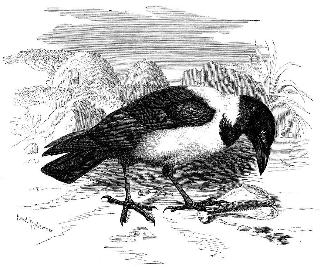 Пегий ворон (Corvus аlbus)
