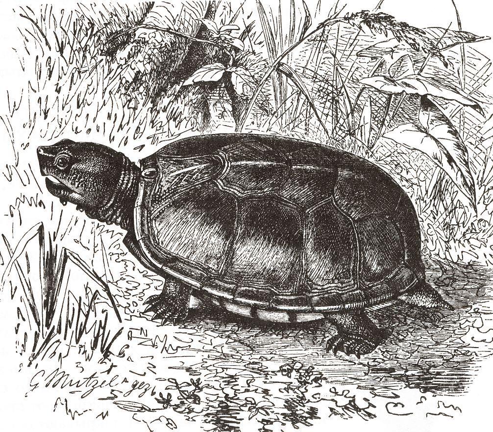 Пенсильванская черепаха (Kinosternon subrubmm)