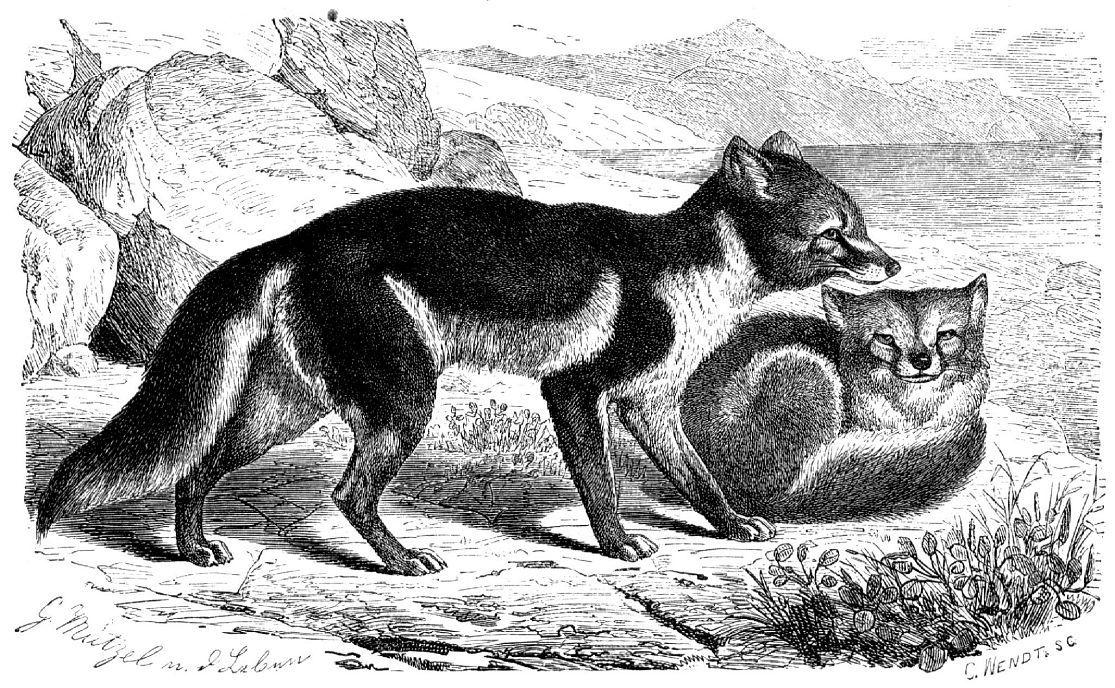 Песец (Alopex lagopus) в летнем меху