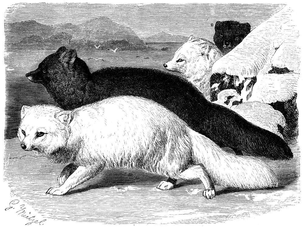 Песец,или полярная лисица (Аlорех lagopus) Белая арктическая и голубая тихоокеанская формы