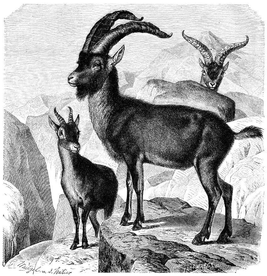 Пиренейский козел (Capra pyrenaica)