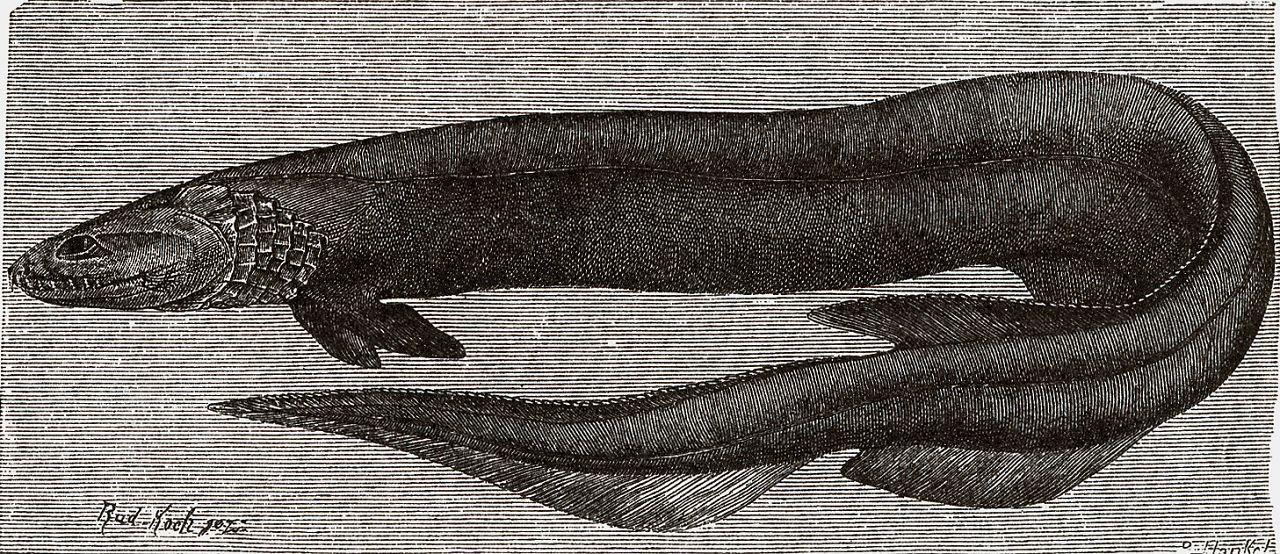Плащеносная акула (Chlarnydoselachus anquineits)